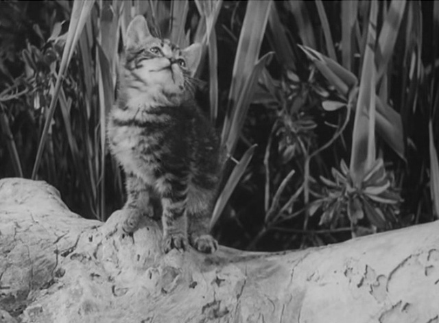 Africa Screams - tiny tabby kitten on log looking up