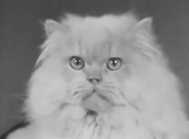 Alphabet Antics - white Persian cat