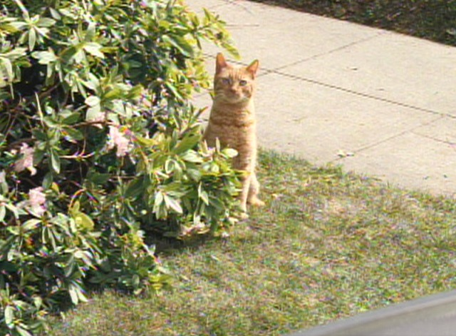 Alvin and the Chipmunks: The Squeakquel - orange tabby cat sitting by bushes