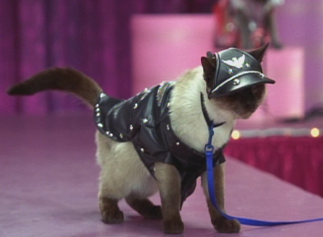 Anchorman - Siamese cat in biker costume & Anchorman: The Legend of Ron Burgundy (2004) - Cinema Cats