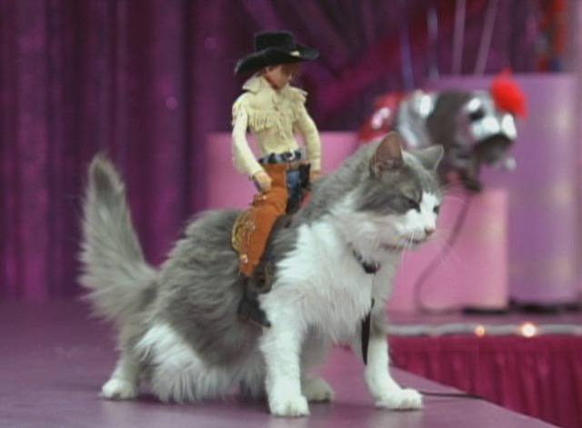 Anchorman - Maine Coon cat with cowboy doll on back