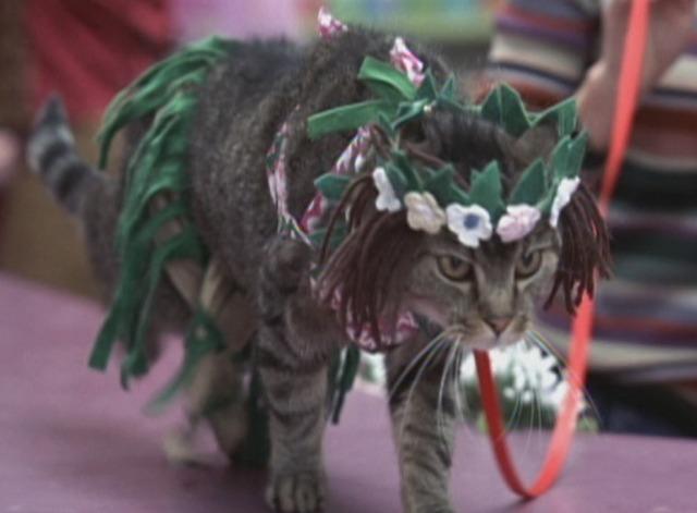 Anchorman - tabby cat in Polynesian costume