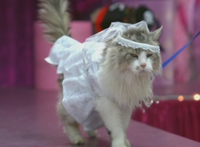 Anchorman - Maine Coon cat in wedding dress