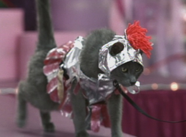 Anchorman - Russian Blue cat in gladiator costume