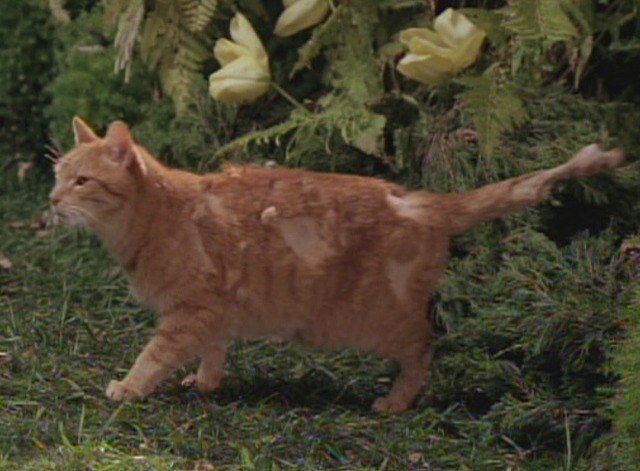 The Animal - orange tabby cat with fur missing