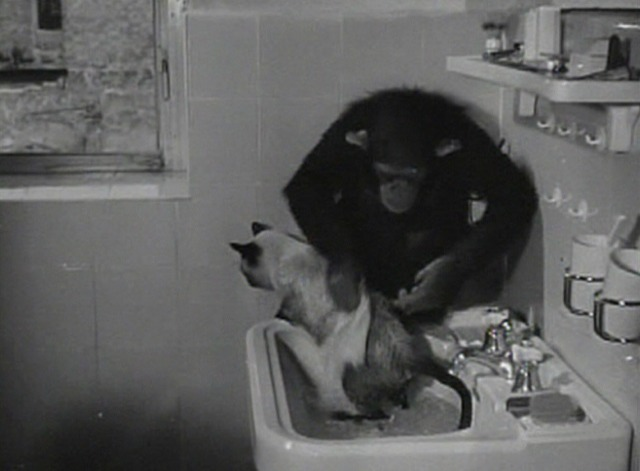 Animals in Action - cat bathed by chimpanzee in sink