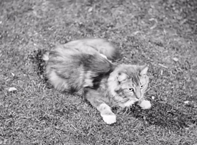 Banjo - tabby Maine Coon cat Snoopy on lawn