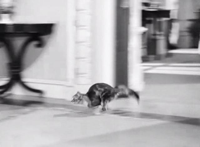 Banjo - tabby Maine Coon cat Snoopy running through house
