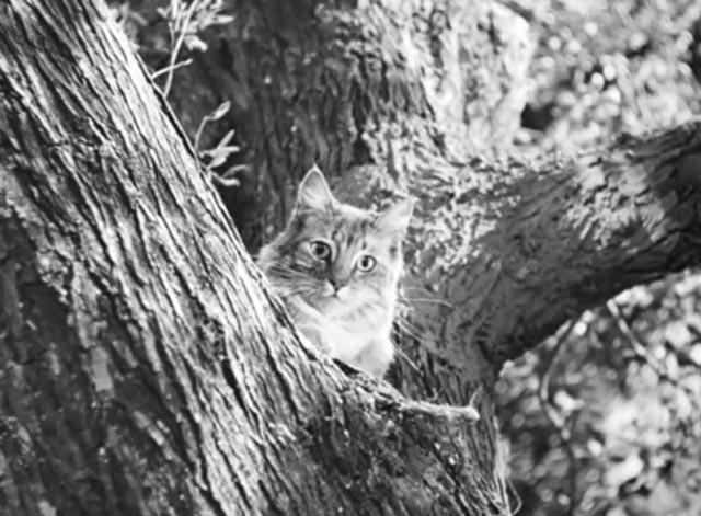 Banjo - tabby Maine Coon cat Snoopy in tree