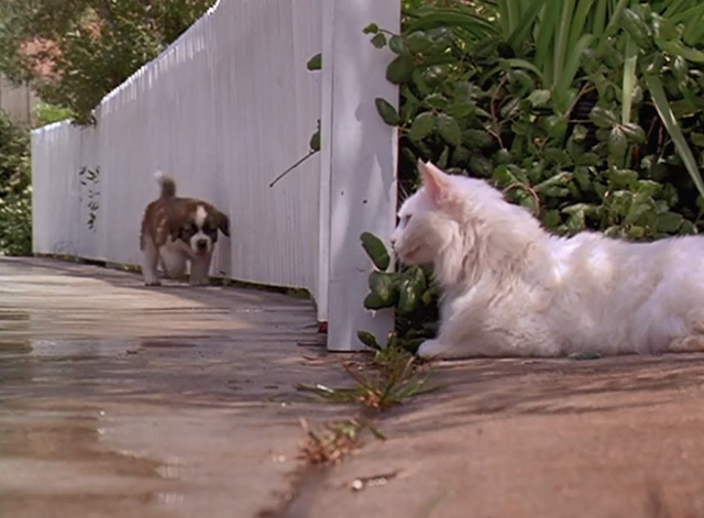 Beethoven - white cat sitting by fence as St. Bernard puppy Beethoven approaches