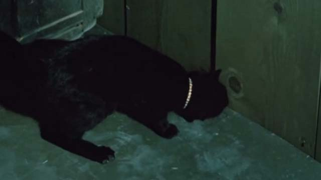 Ben - black cat sniffing at crack in wall