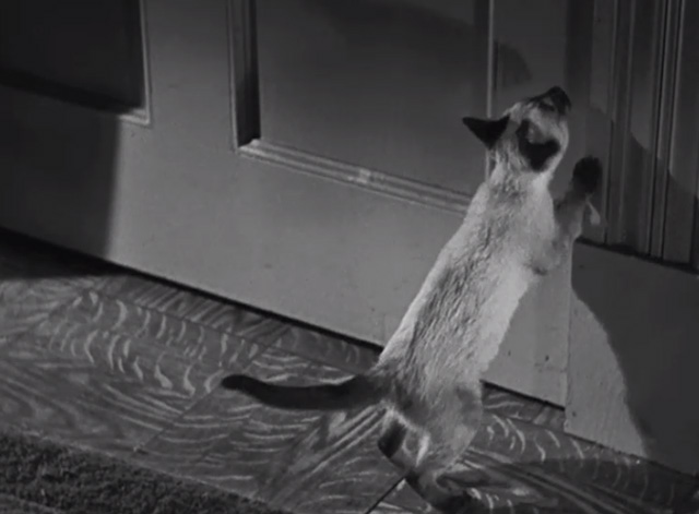 The Boogie Man Will Get You - Siamese kitten scratching at door