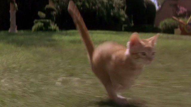 Buddy - orange tabby kitten running