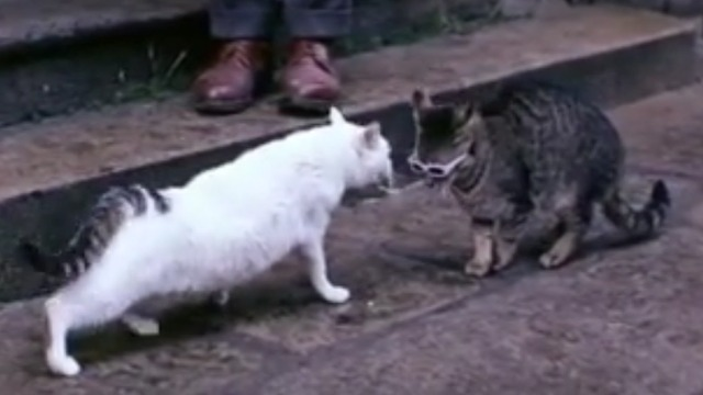 The Cassandra Cat - Mokol tabby cat face to face with white cat Chicha