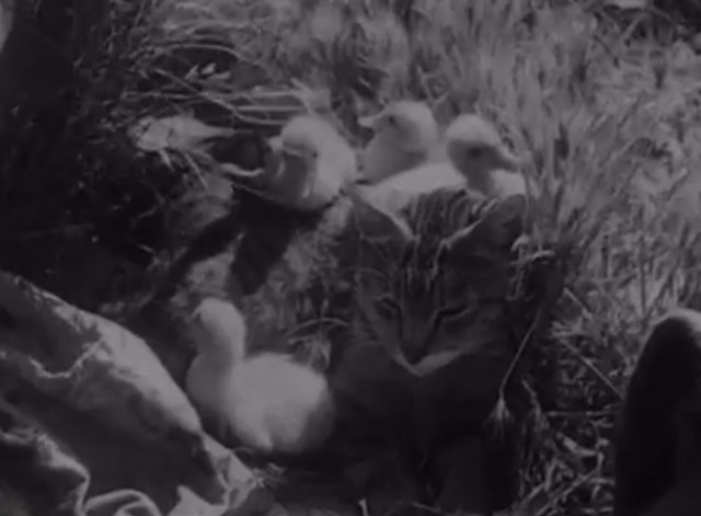 Cat and Ducklings - Mama cat covered with baby ducks