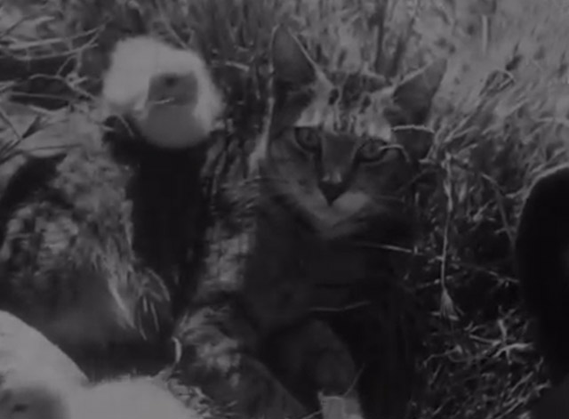 Cat and Ducklings - Mama cat looking at camera with baby ducks