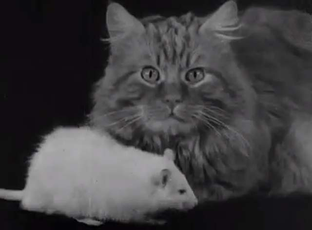 The Cat and the Mouse - long haired tabby cat and white rat on black table