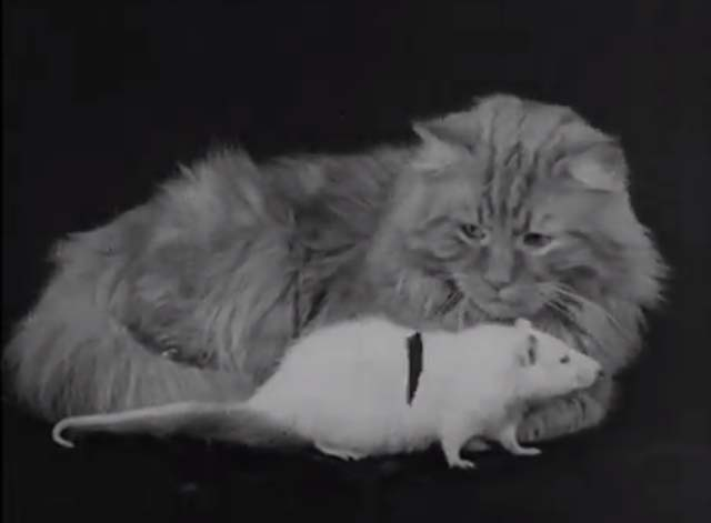 The Cat and the Mouse - feather on string dangling in front of long haired tabby cat and white rat