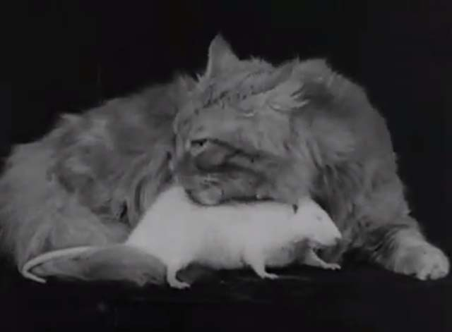 The Cat and the Mouse - long haired tabby cat grooming white rat on black table