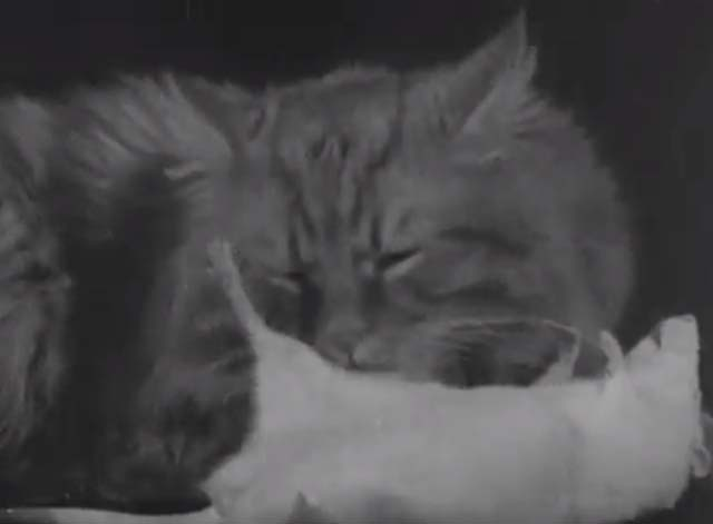 The Cat and the Mouse - long haired tabby cat grooming white rat's stomach on black table