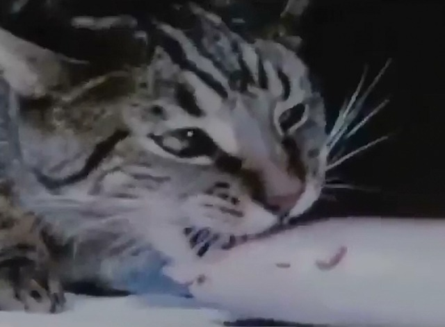 Cat Food - tabby cat eating another fish head