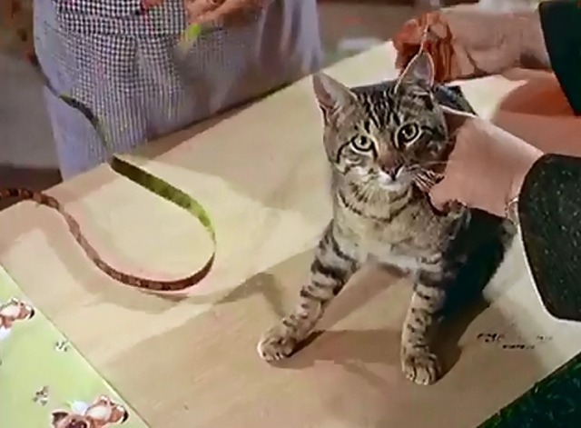 Cat's Accessories - shorthaired tabby
