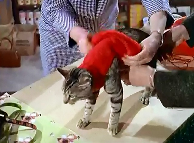 Cat's Accessories - shorthaired tabby being fitted with sweater