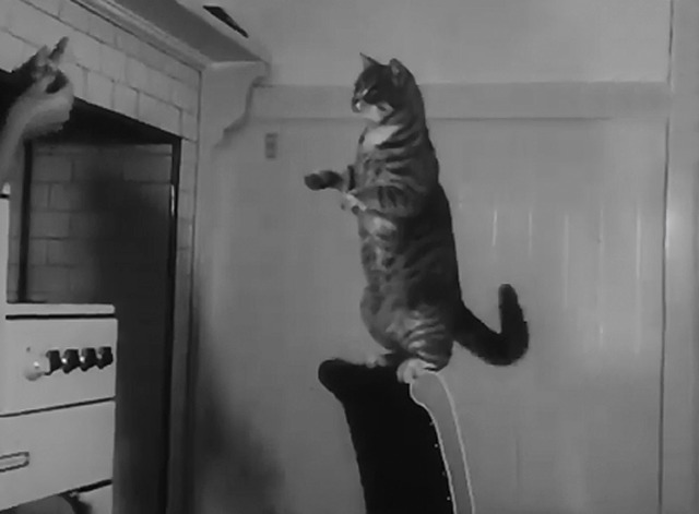 Cats Can Be Trained - Tooshy the tabby cat standing on hind legs on back of chair