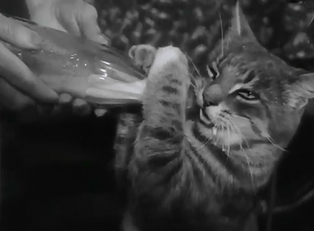 Cats Can Be Trained - Tooshy the tabby cat drinks milk from a baby bottle