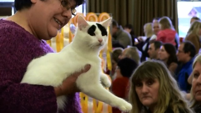 Cat Show - white cat with black eyebrows
