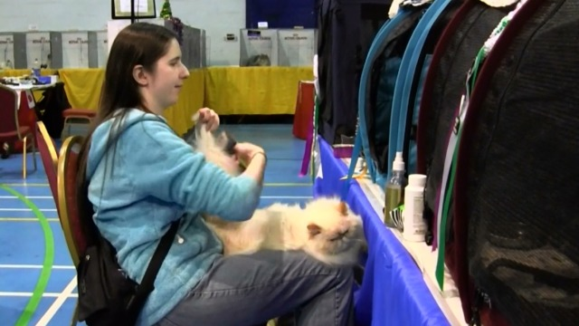 Cat Show - Himalayan cat Tango being brushed by Carly