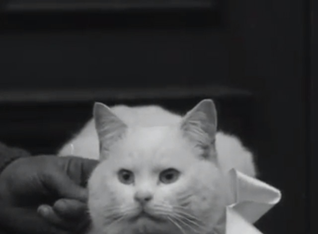 Cat Show 1930's - white shorthair cat