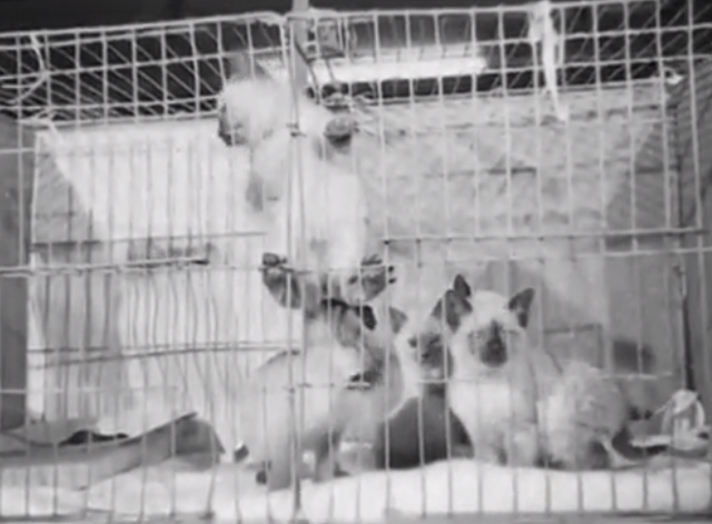 Cat Show 1948 - Siamese kittens inside cage