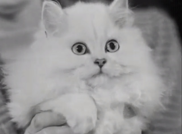 Cat Show 1948 - close up of white Persian cat