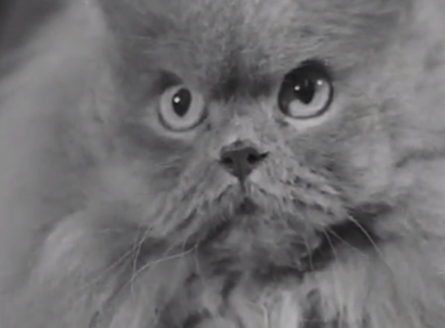 Cat Show 1948 - close up of gray Persian cat