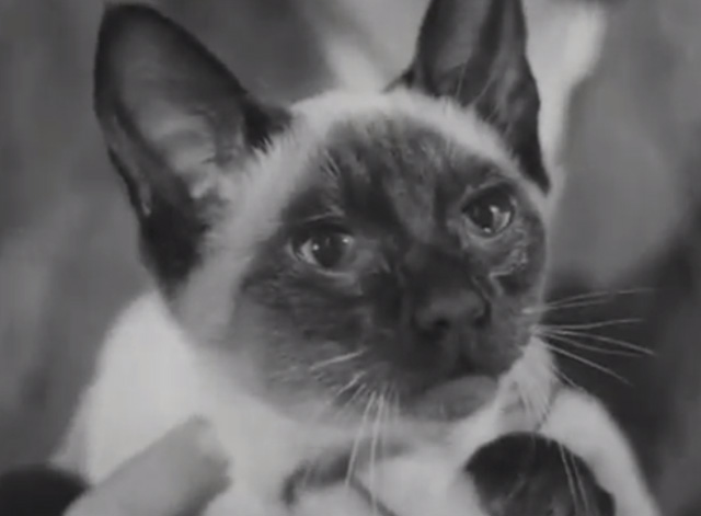 Cat Show 1948 - close up of Siamese cat