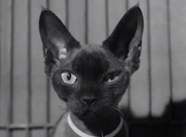 Cat Show Olympia 1969 - Devon Rex cat close up