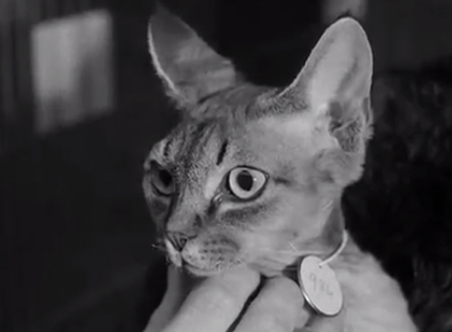 Cat Show Olympia 1969 - Devon Rex cat