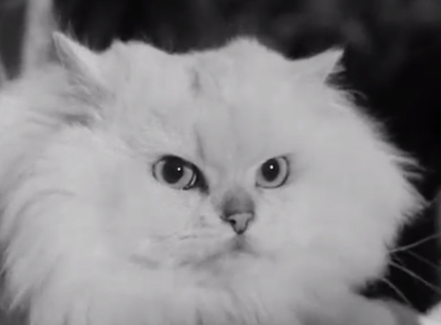 Cat Show Olympia 1969 - white Persian champion cat Coylum Marcus close up