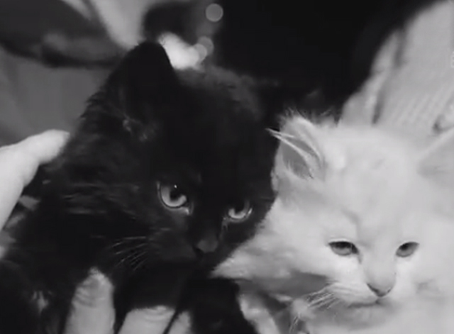 Cat Show Olympia 1969 - black and white Persian kittens