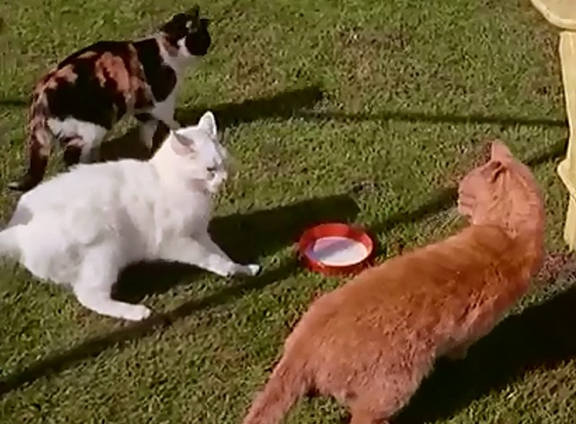 Cat Village - cats fighting over milk