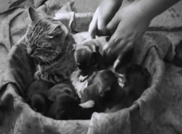 Caught by the Camera #63 - tabby cat acts as foster mother to litter of puppies