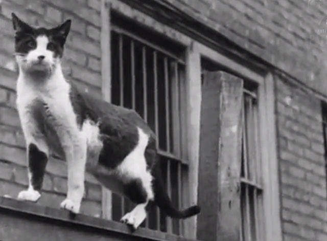 Cinetopicalities In Brief No. 139 - tuxedo cat on top of alley fence