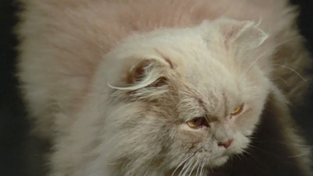 Cold Eyes of Fear - close up of cream-colored long-haired cat