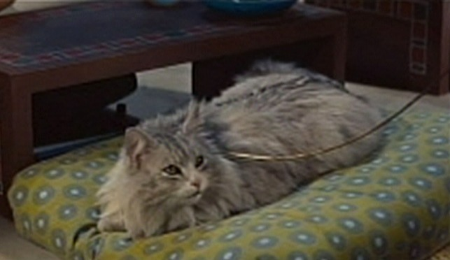 The Egyptian - silver Maine Coon cat sitting on pillow