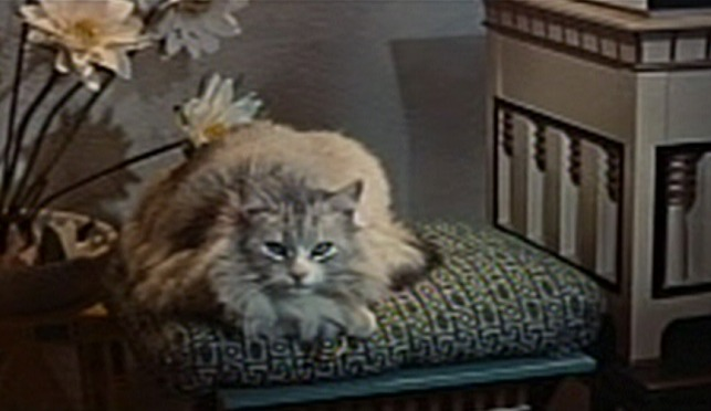 The Egyptian - silver Maine Coon cat sitting on bench