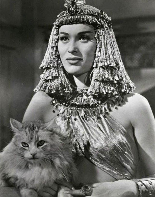 The Egyptian - Nefer Bella Darvi and silver Maine Coon cat still