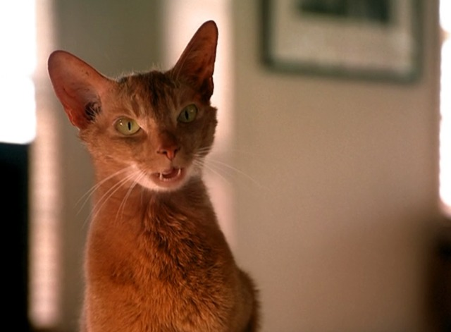 Entropy - Abyssinian cat Puddy Tat talking