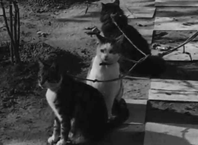 Four-Footed Prettiness - three cats on leads