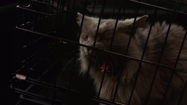 Hide and Seek - gray Maine Coon cat Sebastian yawning in cage in car